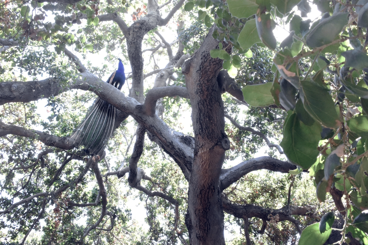 peacock and tree.jpg