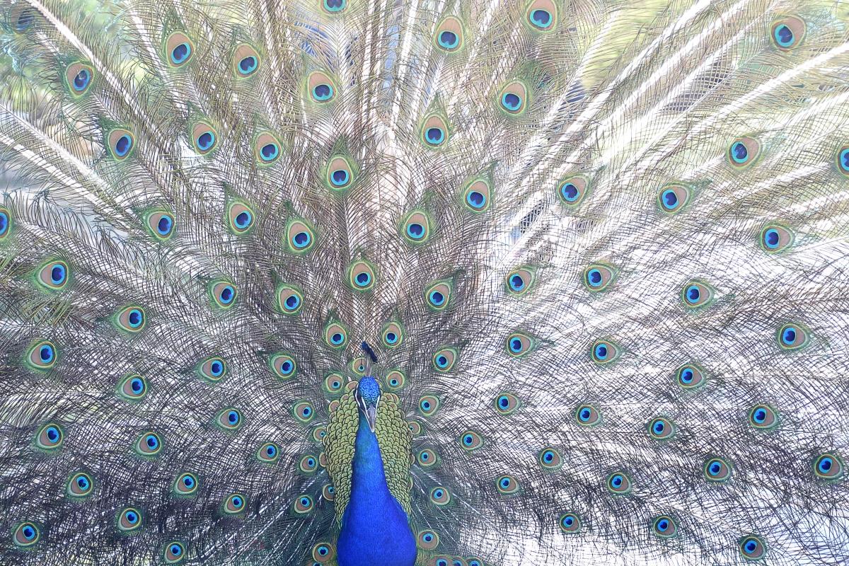 peacock solo.jpg